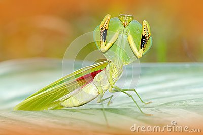 Leaf Mantid, Choeradodis rhombicollis, insect from Ecuador. Beautiful evening back light with wild animal. Wildlife scene from nat