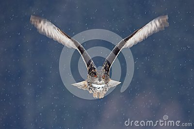 Flying Eurasian Eagle owl with open wings with snow flake in snowy forest during cold winter. Action wildlife scene from nature. B