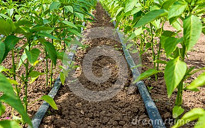 Pepper plant and drip irrigation