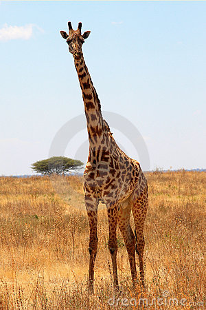Giraffe in plain savanna