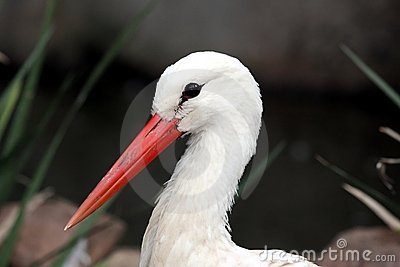 Stork Bird Portrait