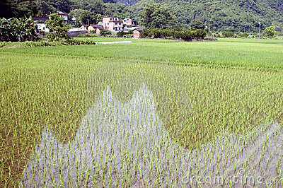 Rice fields with reflections