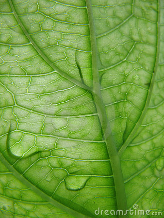 Leaf veins with dew drops