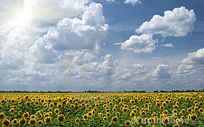 Field of sunflowers on a background of the cloudy