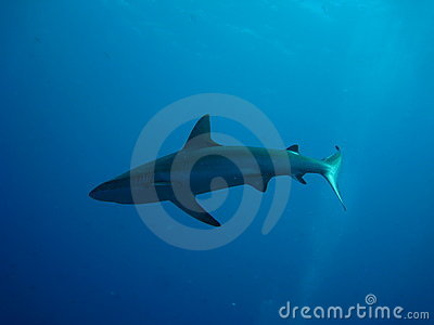 A whaler shark swimming in shallow water