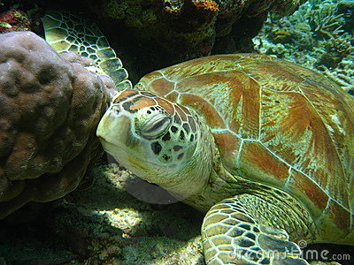 Old green turtle