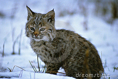 Young Bobcat in Snow