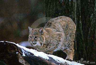 Bobcat On Branch