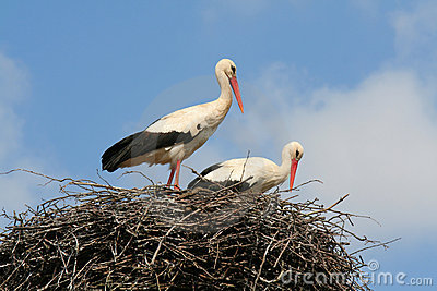 Two storks in a nest