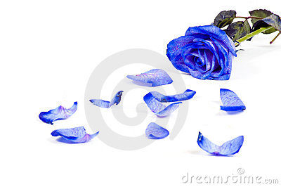 Lots of rose leafs with blue rose isolated