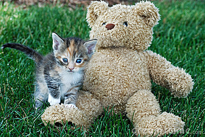 calico kitten and teddy bear