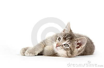 Gray kitten laying down and looking up