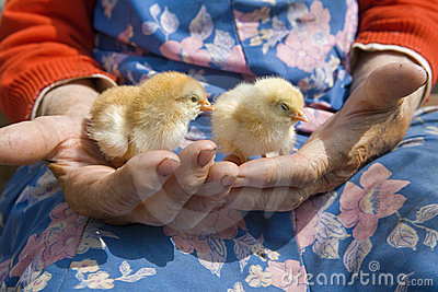 Close up of hands holding chicken