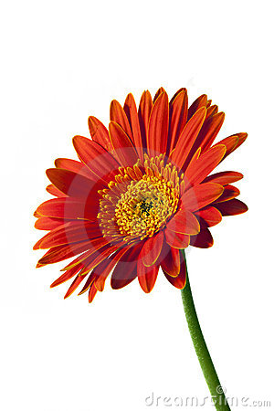 Gerbera or Gerber Daisy Isolated