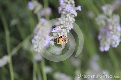 Bee on lavendula