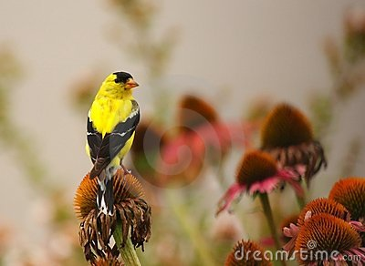 Gold Finch on Bloom
