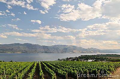 Vineyard by okanagan lake