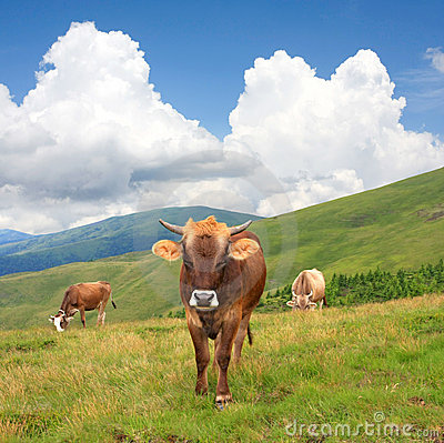 Cows on mountain pasture