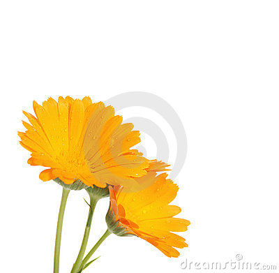 The flowers of a calendula