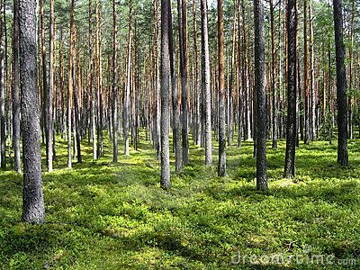 Dreamy pine forest