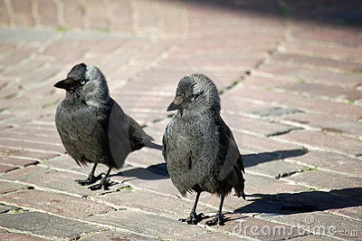 Couple curious begging jackdaws