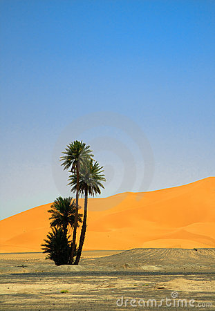 Palm tree on the edge of Sahara desert