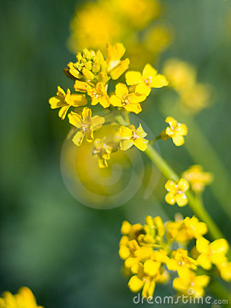 Yellow meadow flowerses. close up