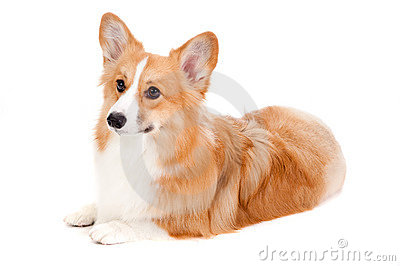 Brown and White Corgi