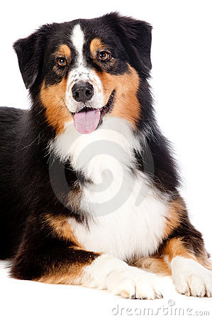 Black and Brown Australian Shepard