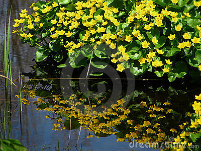 Marigold Reflections