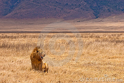 Male lion sitting in the dry yellow grass