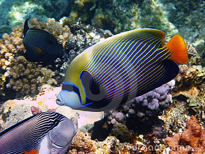 Emperor angelfish and reef