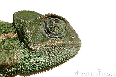 Chameleon isolated on white