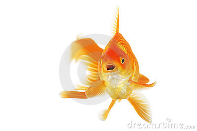 Beautiful fantail goldfish