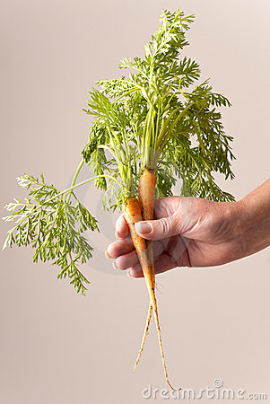 Two freshly picked young carrots