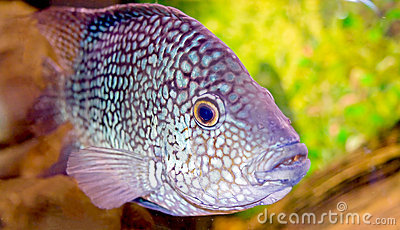Fancy spotted  fish