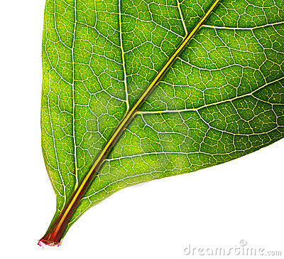 Part of green leaf isolated
