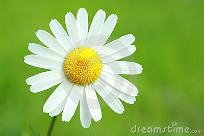 Camomile on green