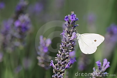 Lavender flowers with Small White butterfly