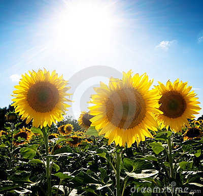 Sunflower  field under the sun