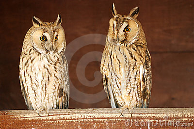Eurasian Eagle-owls in the barn