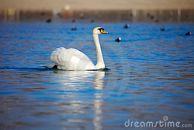 Elegant Swan on the lake