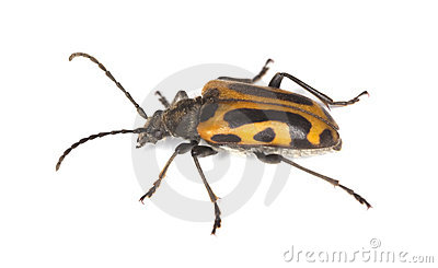 Long horn beetle (Brachyta interrogationis)