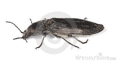 Click beetle isolated on white background.