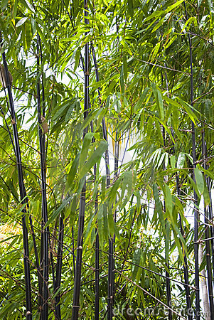Tall Black Bamboo Growing