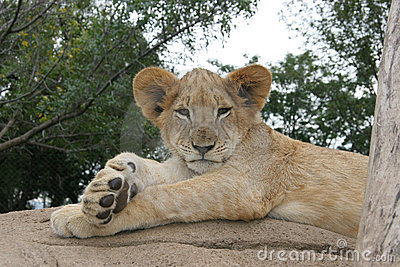 Lion cub lying in the sun