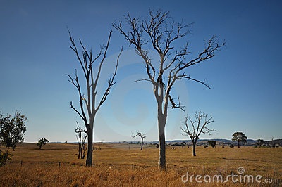 Trees with dieback in field of dry grass
