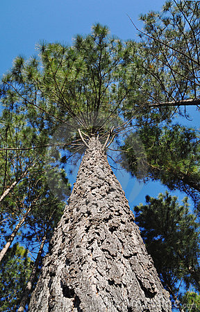 Tree radiata pine looking upwards