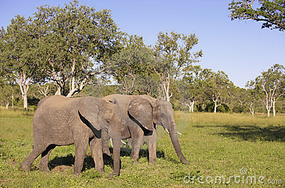 Two large elephants