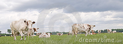 Dutch grazing cow wih clouds